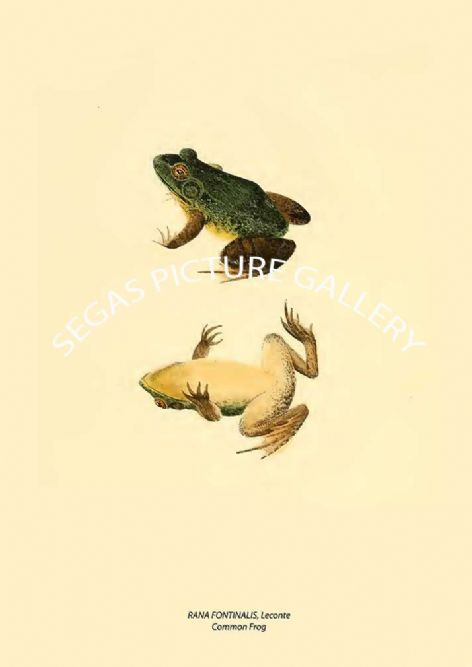 Fine art print of the RANA FONTINALIS, Leconte - Common Frog by John Edwards Holbrook (1838)